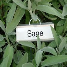 healthy sage plant